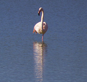 Flamingo on the Camargue